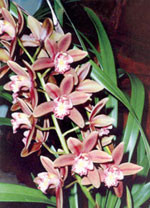 Kingaroy Orchids